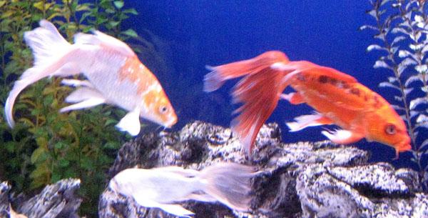 Гуппи рыбки уход и содержание фото
