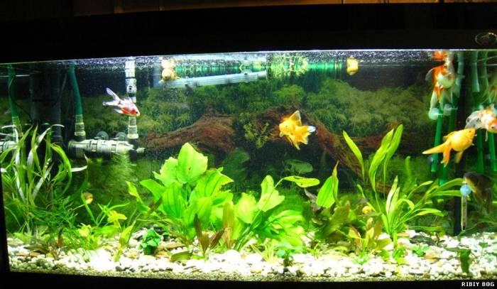 Оформление аквариума для золотых